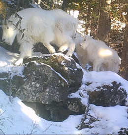 Mountain Goat Twins