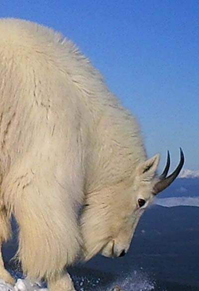 Mountain goat in high alpine in winter