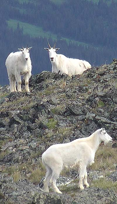 Group of mountain goats