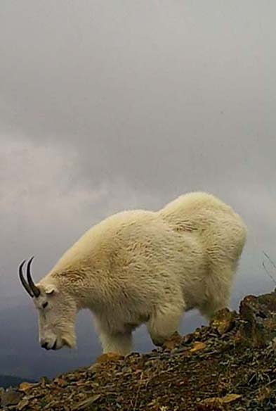 Mountain goat on remote ridge near Smithers BC Canada