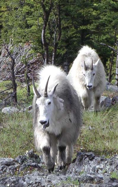 Pair of mountain goats